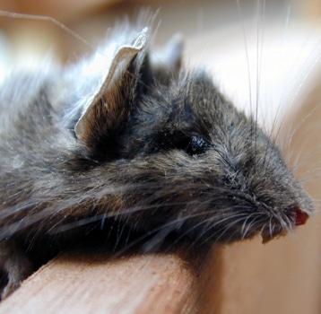 Rato na congregação